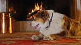 родословная : Big dog red-white color lying near the fireplace Стоковые видеозаписи