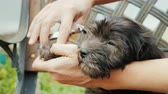 cut off : A woman cuts off her claws to a small puppy. Pet Care Concept