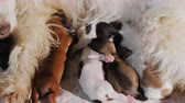 szülés : A group of small puppies eats milk from a white dog mom Stock mozgókép