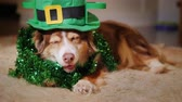 aconchegante : Cool dog in a green hat. Meet St. Patricks Day