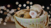 mastigação : Funny puppy is sleeping in a basket. Comfort and home warmth concept Vídeos