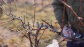 makas : Pruning grapes in late winter or early spring season, close-up shot Stok Video