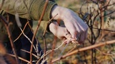 buda : Pruning grapes in late winter or early spring season, close-up shot Stock Footage