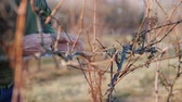 vinařství : Pruning grapes in late winter or early spring season, close-up shot Dostupné videozáznamy