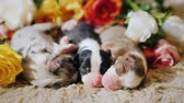 pet friendly : Three newborn puppy sleeping on the background of a bouquet of roses. Top view