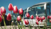 tulp : A number of tourist buses with tulips in the foreground. Travel and Tourism in the Netherlands concept