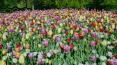 A large flower bed and colorful tulips in the Keukenhof park. Crane shot