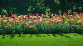 trawnik : To stroll along the beautiful flowerbed with colorful tulips. Steadicam shot