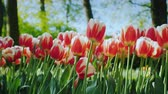 Клумба : Beautiful red and white tulips. Well-kept flower bed in the park