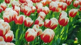 Клумба : Fresh red-white tulips. In the Keukenhof park in the Netherlands