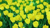 Клумба : Beautiful flowerbed with yellow tulips. Steadicam shot