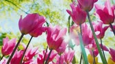 Beautiful pink tulips stretch towards the sun. Sun shines shine through the petals of flowers