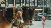 kordé : A twin of horse-drawn thoroughbred horses on the street of a small German town. Carriage for tourists