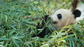giant panda : Big panda eats bamboo leaves. A sweet and very popular animal