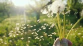 Play with dandelion flowers - shake off the seeds.. Slow motion POV video Stock Footage