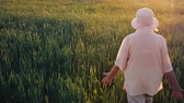 pohlazení : An elderly female farmer is walking along a field of green wheat. Hands touching the spikelets. Rear view