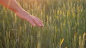 idosos : The hand of an elderly woman looks at the spikelets of green wheat. Beautiful glare of the sun. Organic farming concept