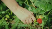 harvesting vegetables : Female hand plucks juicy strawberries