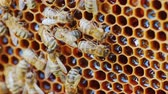 нектар : The bees work at the hive on the honeycomb. Cells are not closed, you can see fresh honey