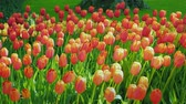 nadir : Red and orange tulips against a green lawn background. The famous Keukenhof park in the Netherlands