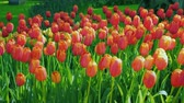Клумба : Red and orange tulips against a green lawn background. The famous Keukenhof park in the Netherlands