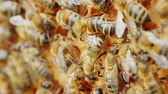 wosk : Bees work on honeycombs, videos with shallow depth of field