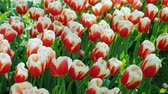 Клумба : One of the symbols of the Netherlands is the tulip. Beautiful flowerbed with red and white tulips