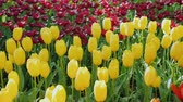 тюльпаны : Colorful tulips of yellow and red in a spring park