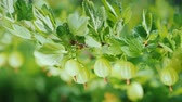 groselha : Juicy gooseberries on a green bush. Vitamins and fruits Stock Footage