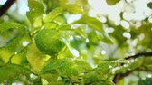 мандарин : A green lemon fruit ripens on a tree. Covered with drops of water, the sun shines brightly. Citrus garden Стоковые видеозаписи