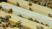 мед : Hardworking bees work inside the hive
