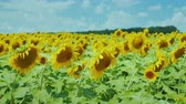 girassol : Field of yellow sunflowers against the blue sky with beautiful clouds