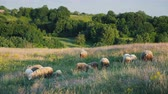 wełna : A small herd of sheep grazing in a picturesque place near the forest