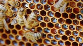нектар : The bees work at the hive on the honeycomb.