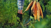 considerar : The farmer pulls out a juicy carrot in the garden. Organic farm products