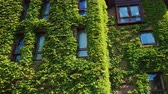 İskandinavya : The windows of the brick building were covered with ivy. Greens in the city. Bergen, Norway