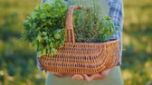 базилика : Hands of a farmer holding a basket of greens and spices Стоковые видеозаписи