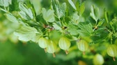 groselha : Green branch with gooseberry berries