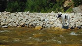 timid : The dog tries to overcome the rough mountain river. Fear prevents her from doing this