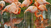afrika : A flock of graceful pink flamingos