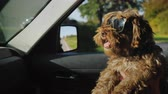 домашнее животное : Funny brown dog in sunglasses rides on the hands of the owner. Ride with a pet in the car Стоковые видеозаписи