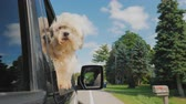 próximo : The dog looks out of the window of the car in motion. In the rearview mirror you can see the driver. Pet Travel Stock Footage