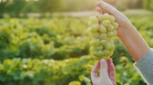 bağcılık : Farmers hands hold a juicy bunch of grapes. In the vineyard where the setting sun beautifully illuminates it