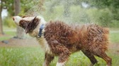 tremulação : Wet dog shakes off water, splashes fly in all directions. Slow notion video