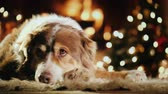 állat téma : Portrait of a shepherd dog by the fireplace. Behind the lights are visible lights on the Christmas tree. Cozy home and New Year holidays concept Stock mozgókép