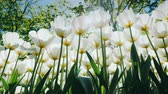 konyhai : Huge white tulips on a high stalk in the park. Bottom view