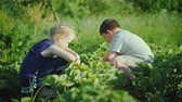 two children : A girl with a boy is looking for strawberries in the garden. Carefree childhood, summer at the farm