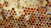 нектар : A colony of bees works on a wax frame in the hive