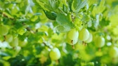 groselha : Gooseberries are delicious and healthy berries Stock Footage