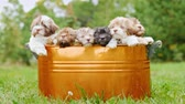 выглядывал : A brood of puppies sits in a bucket that stands on a green lawn